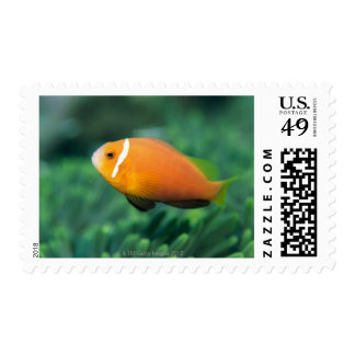 Close up of Maldives anemone fish, Maldives 2 Postage Stamps