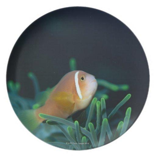 Close up of Maldives anemone fish, Maldives Plate