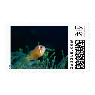 Close up of Maldives anemone fish, Maldives Stamp