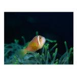 Close up of Maldives anemone fish, Maldives Postcard