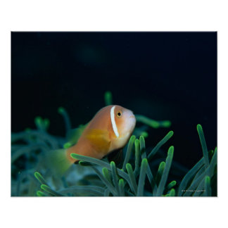 Close up of Maldives anemone fish, Maldives Poster