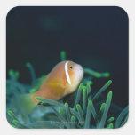 Close up of Maldives anemone fish, Maldives Square Sticker