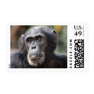 Close-up of male Chimpanzee Stamps