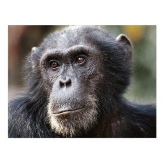 Close-up of male Chimpanzee Postcard