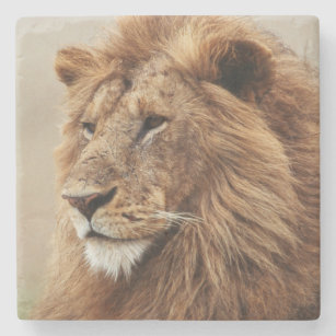 Close-up of male Lion Stone Coaster