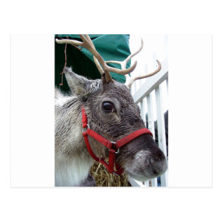 Close-Up of Male Reindeer With Red Halter Postcard