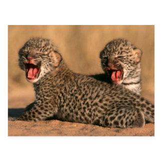 Close-Up Of New Born Leopard (Panthera Pardus) Postcard