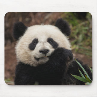 Close up of Panda Eating Mouse Pad