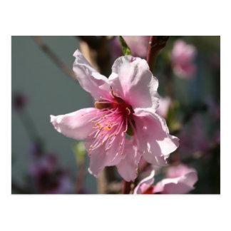 Close Up of Peach Tree Blossom Postcard