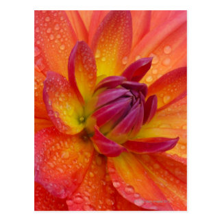 Close-up of petals at the center of a dahlia postcard