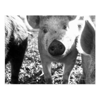 Close up of piglets postcard