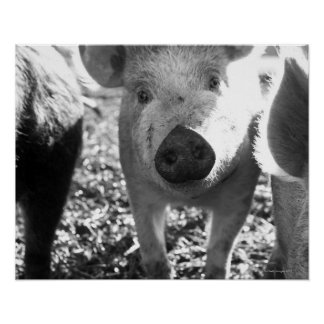 Close up of piglets poster