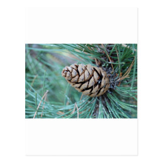 Close up of Pinecone Postcard