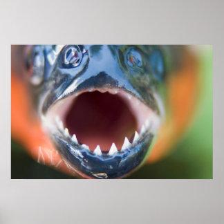 Close-Up Of Piranha, Iquitos, Maynas, Peru Posters