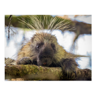 Close-up of porcupine in a tree postcard