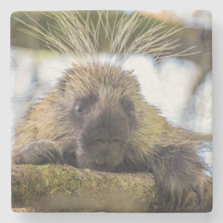 Close-up of porcupine in a tree stone coaster