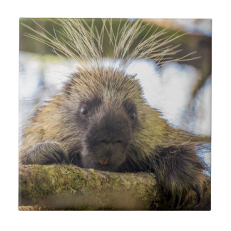 Close-up of porcupine in a tree tile
