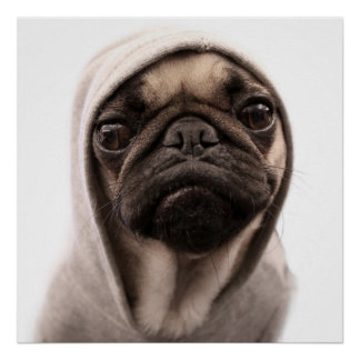 Close up of pug wearing hoodie. poster