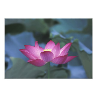 Close-up of red lotus flower and green leaves, photographic print