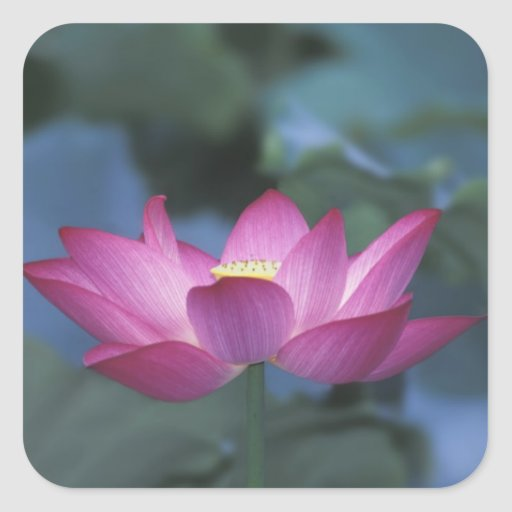 Close-up of red lotus flower and green leaves, square sticker