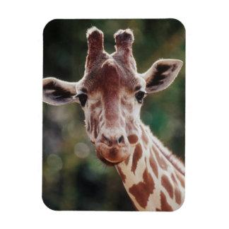 Close up of Reticulated Giraffe Magnet