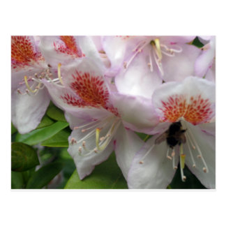 Close up of Rhododendron with Bee Postcard