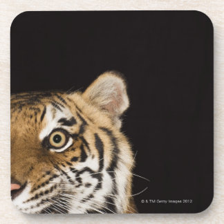 Close up of roaring tiger's face beverage coaster