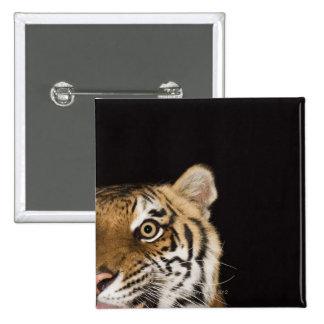 Close up of roaring tiger's face pins