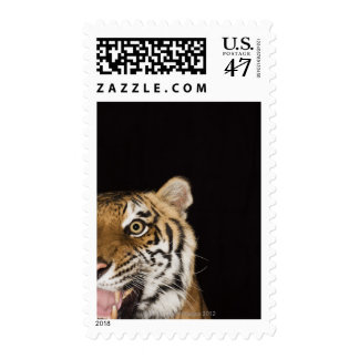 Close up of roaring tiger's face postage
