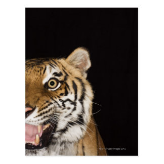Close up of roaring tiger's face postcard