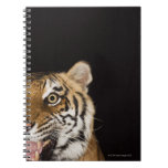 Close up of roaring tiger's face spiral notebook