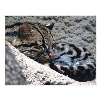 Close-Up of Sleeping Ocelot Postcard