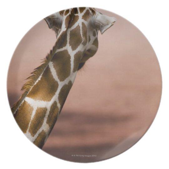 Close-up of Somali giraffe (Giraffa Dinner Plate