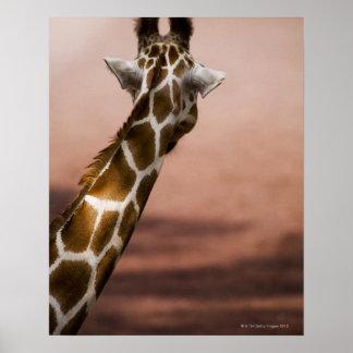 Close-up of Somali giraffe (Giraffa Poster