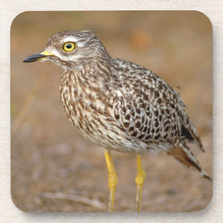Close-Up Of Spotted Thick-Knee Coaster
