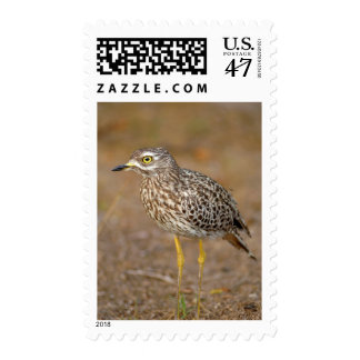 Close-Up Of Spotted Thick-Knee Postage