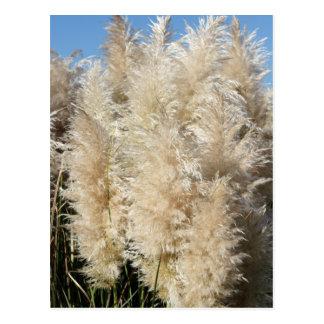 Close-Up of Tall Pampas Grass Plumes Postcard