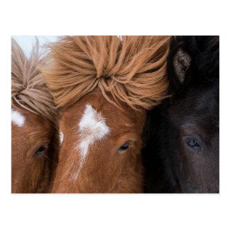 Close up of three Icelandic Horses Postcard