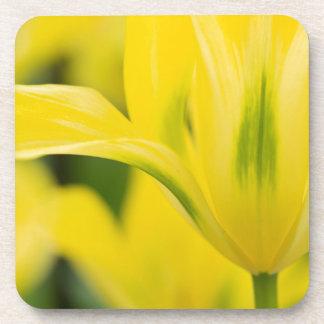 Close-up of tulip 2 coaster