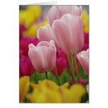 Close-up of tulip flower, Kuekenhof Gardens, Greeting Card