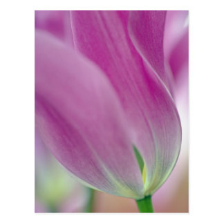 Close-up of underside of tulip flower, 2 postcard
