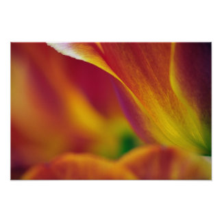 Close-up of underside of tulip flower, 4 poster