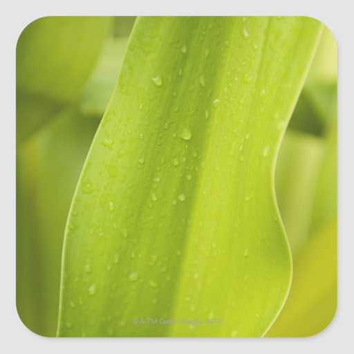 Close up of wet tropical leaf square sticker