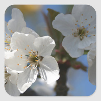 Close Up Of White Cherry Blossom Flowers Square Stickers