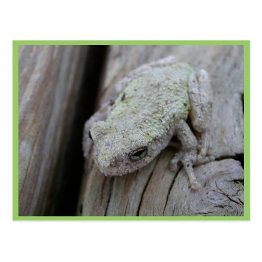 Close Up Of White Tree Frog Postcard