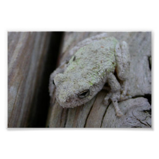 Close Up Of White Tree Frog Print