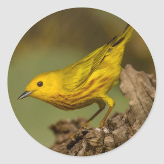 Close-Up Of Yellow Warbler Classic Round Sticker