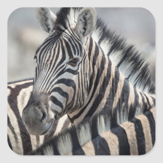 Close-up of zebra head between two other zebras square sticker
