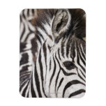 Close up of zebra rectangular magnets