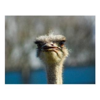 Close_Up_Ostrich_FullSize.jpg Postales
